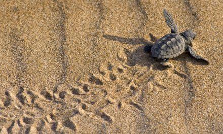 Medidas para proteger la anidación de las tortugas marinas en el litoral español