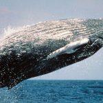 Inteligencia artificial para la conservación de las ballenas