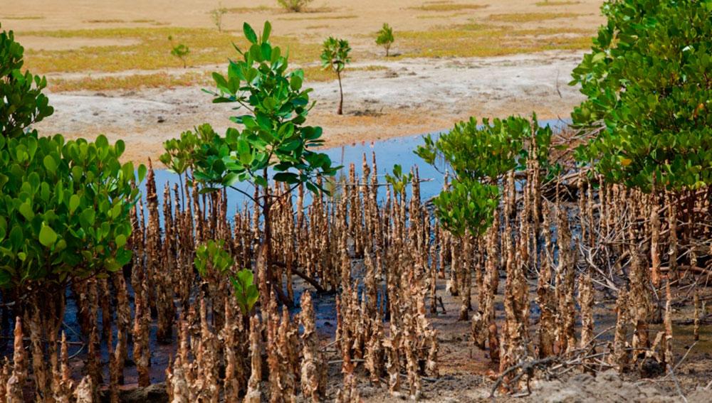 Los manglares en el cambio climático