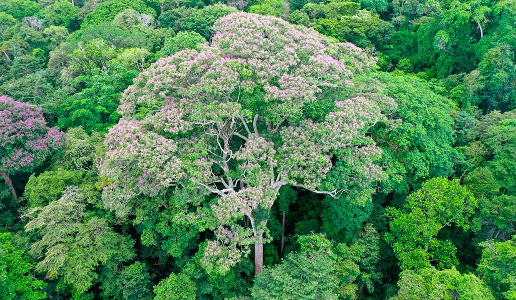 Árboles gigantes en los bosques tropicales