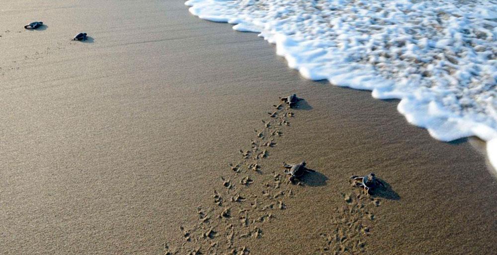 Pequeñas tortugas hacia el mar