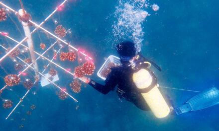 Técnica pionera para restaurar los corales
